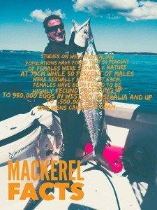 barred mackerel, narrow-barred mackerel, striped seer