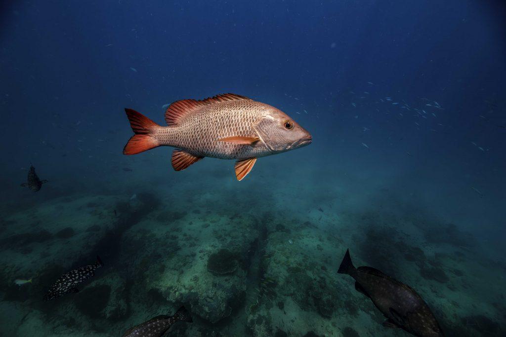 Tropis Mangrove Jack Spearfishing Exmouth Western Australia