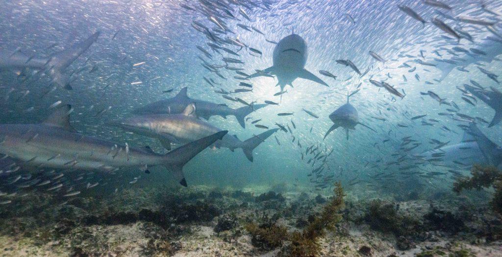 Tropis Shark Baitball. Spearfishing Exmouth Western Australia