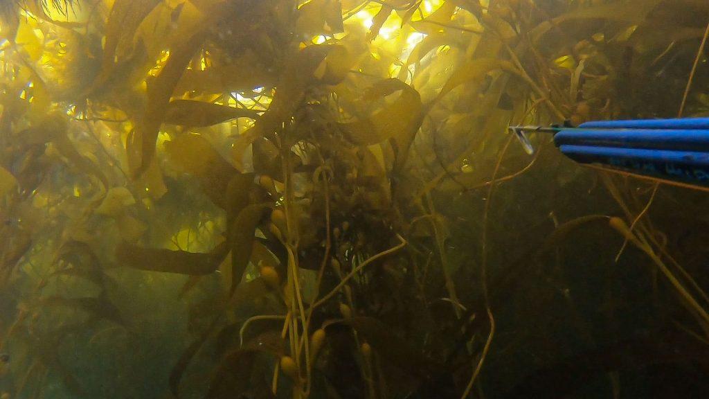 Macrocystis Pyrifera or Giant Kelp. How to Spearfish in Kelp