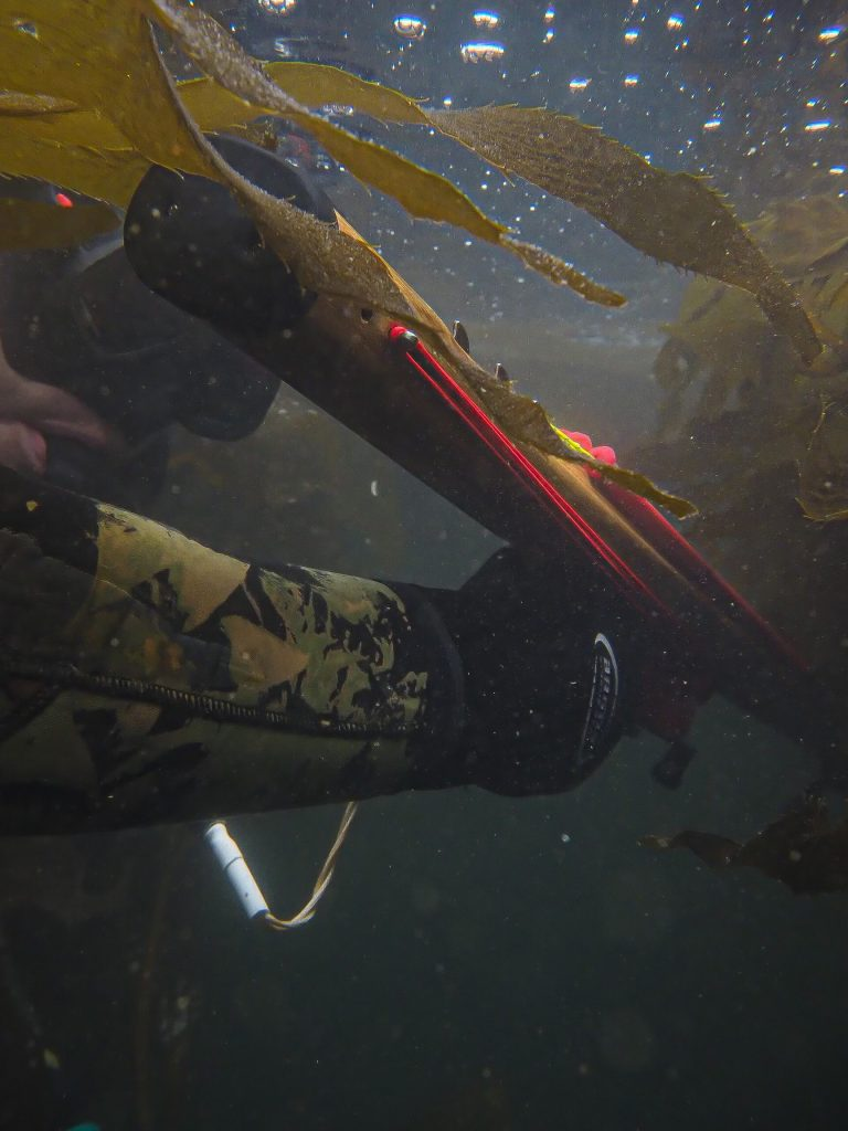 Mid-handle speargun in kelp. Same power but very maneuverable and great in poor vis. Spearfishing tips for diving in kelp